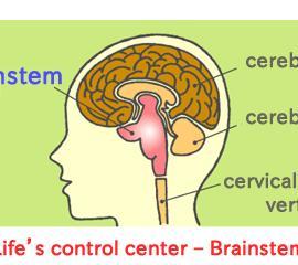 brainstem_en